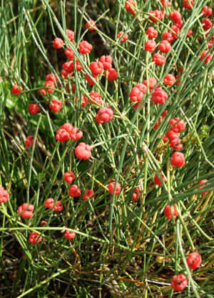 Is there a state where ephedra (ma huang) legal?