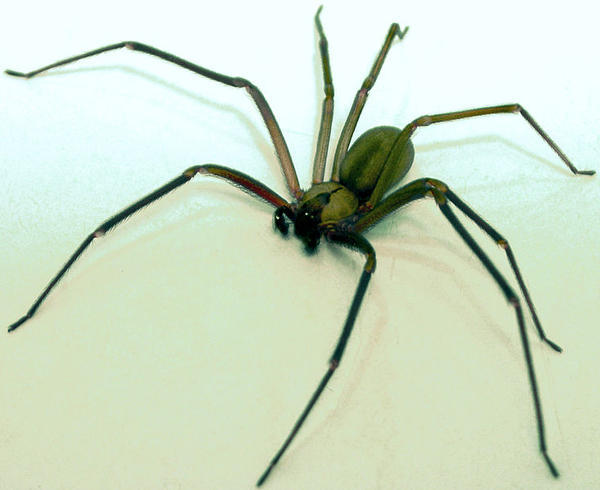 What are symptoms from a brown recluse spider bite that are different from a regular house spider?
