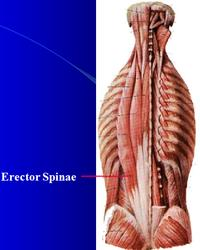 exercise for the erector spinae back muscles livestrongcom