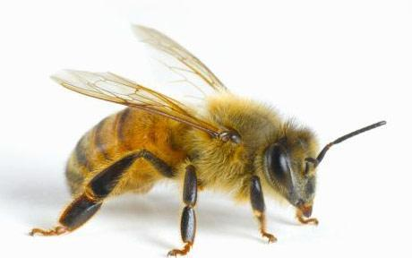 Can  bee venom be  used to alleviate arthritis?