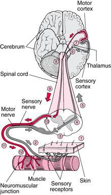 Why do nerves cause feeling?
