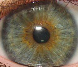 What type of tissue is the stroma in your iris? A connective tissue , nervous tissue, or epithelial tissue?