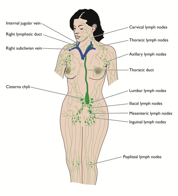 Where is the lymph nodes located in abdomen?