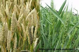 What is wheat germ?