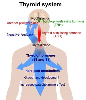 In what ways do thyroid disorders affect homeostasis?
