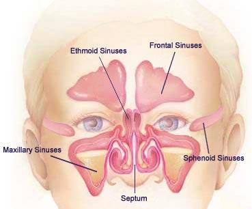 What is the definition or description of: sinuses?