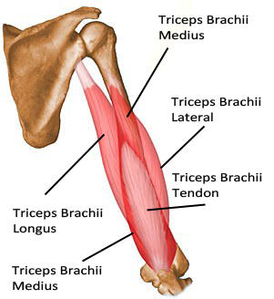 Triceps Extension Barbell Vs Dumbbell - Doctor insights on HealthTap