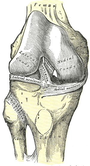 What is the acl, and what does it do in the knee?