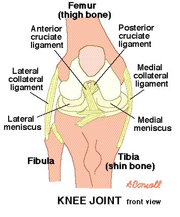 What is the definition or description of: posterior cruciate ligament?