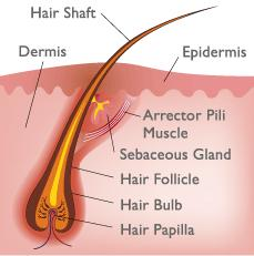 Help does marijuana stay in your hair follicles?