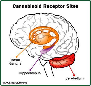 Does ganja destroy brain after how long.?
