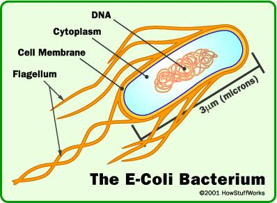 What is the definition or description of: e coli infection?