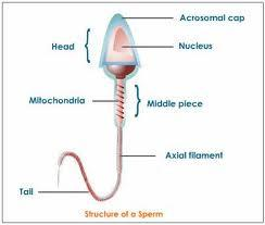 What is the definition or description of: sperm presence?