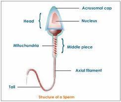 Definition or description of sperm cells