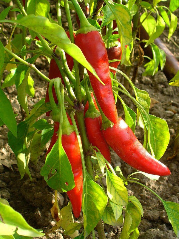 Will cayenne pepper help me lose weight?