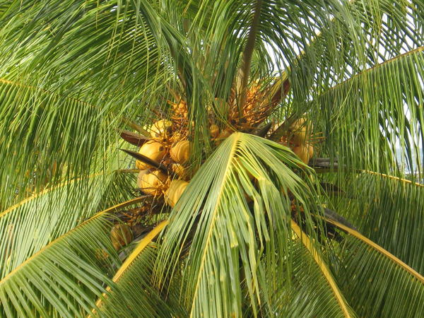Is coconut considered a tree nut under food allergies?