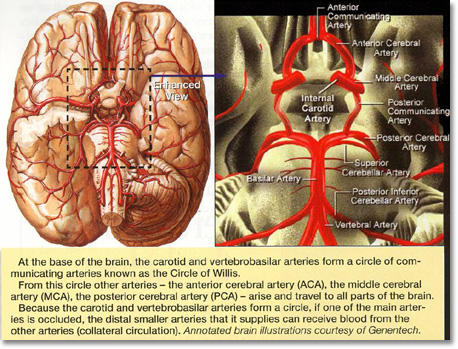 What are the major arteries in the brain?