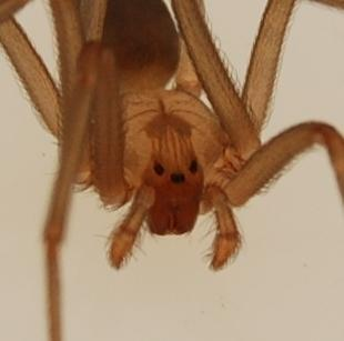 What is the definition or description of: brown recluse spider?