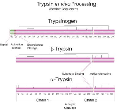 What is the definition or description of: trypsin?