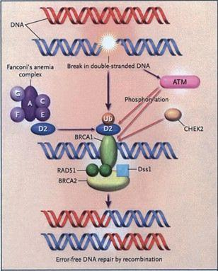 What is the definition or description of: brca1 gene?