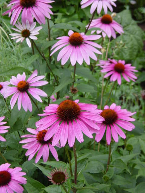 Is the herbal medicine echinacea safe to use during pregnancy?
