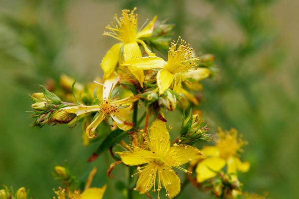 Can I take st johns wort for low mood while taking gabapentin for neuralgia (atypical facial - one side of face)?