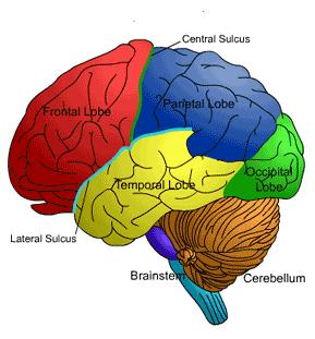 Where is the frontal lobe located?