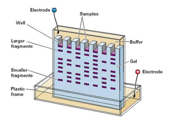 What is the definition or description of: electrophoresis?