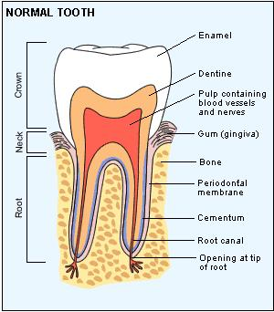 What are the different parts of human teeth?