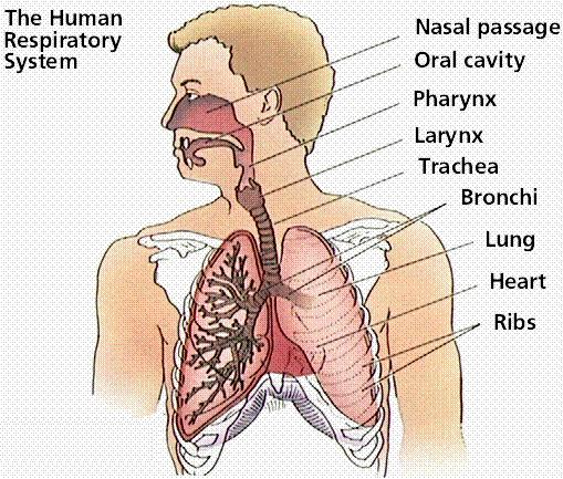 What is most common diseases or disorders of the respiratory system?