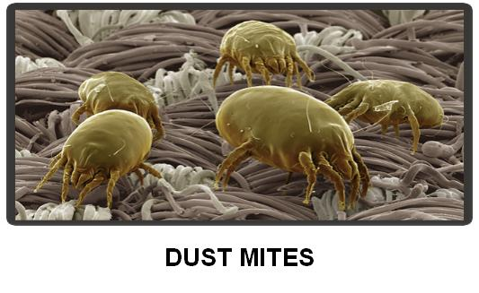 What parasite is found in both dust and skin?