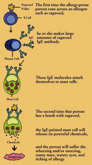 How does your body have an allergic reaction?