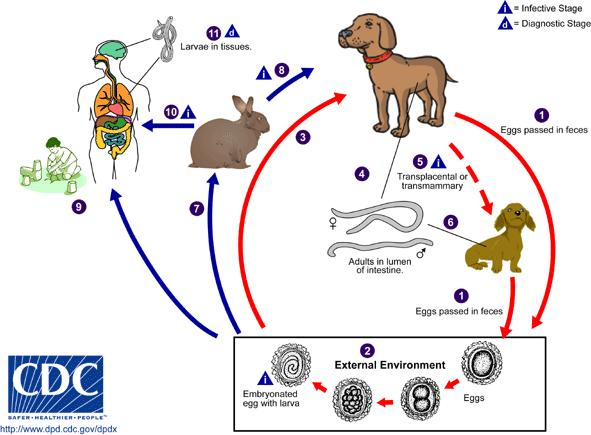 How would you know if you contracted roundworm from a dog?