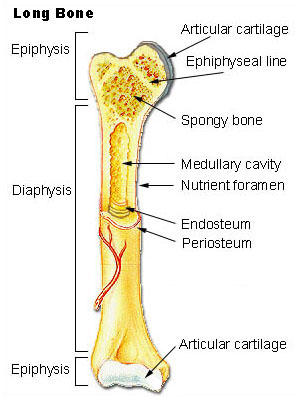 What is the definition or description of: bone?
