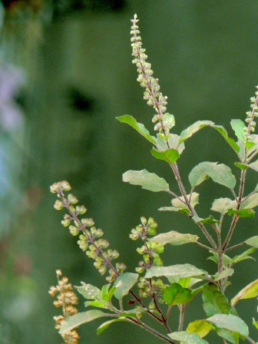 Could drinking the herb tulsi help my allergies?