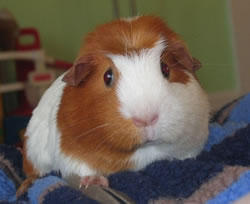 My mum is allergic to guinea pigs. Could she also be allergic to hamsters?