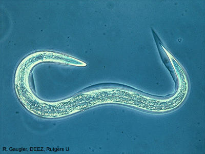 How does immune system work in intestine nematode infection?
