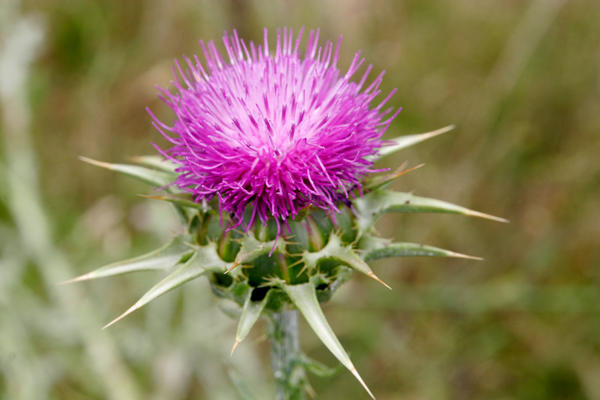 Is it okay for me to take milk thistle even though I am allergic to ragweed?