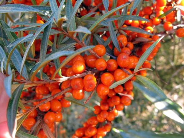 Is seabuckthorn good for your skin? Can it heals acne?