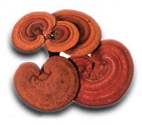 Can you tell me detailed information on ganoderma benefits?