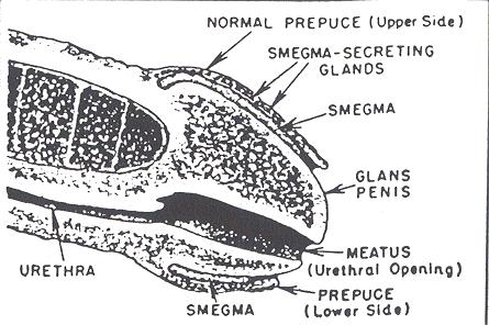 I have a small amount of smegma under my foreskin, it's not bothering me so is it ok to keep. I see no need in retracting and washing. Isn't it good?