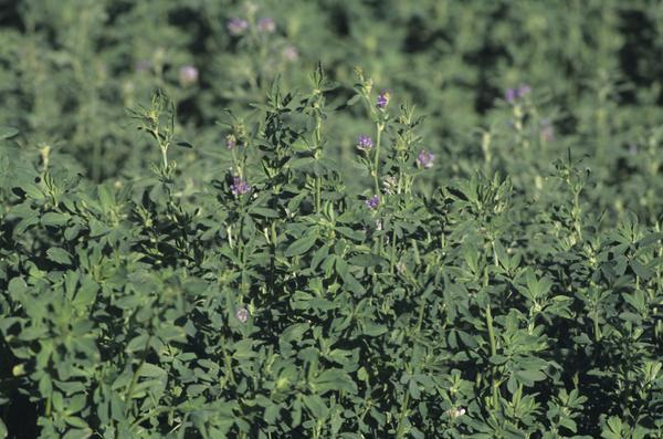 Are alfalfa supplements (capsules) safe to take? Around 4 grams a day?