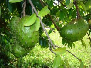 Does soursop helps to cure eye tumour?