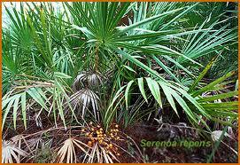 Does saw palmetto have any side effects?