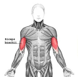 What calisthenic exercise works out biceps?