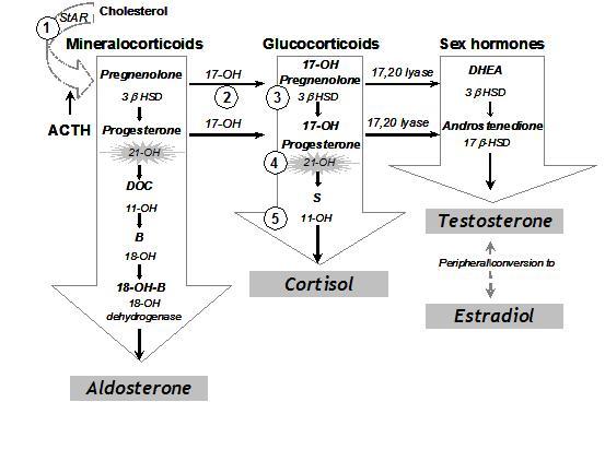 Adrenal Gland Disorders Congenital Adrenal Hyperplasia - Doctor ...