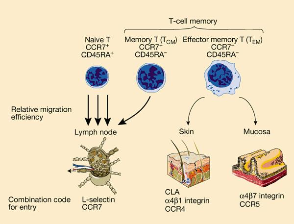 How and where are t memory cells produce?