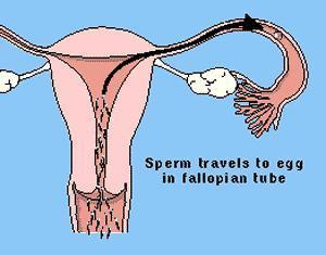 I'm trying to get pregnant and i'm wondering why the semen stays in the vagina and dosnt go to the uterus so the sperm can travel? Is this normal?