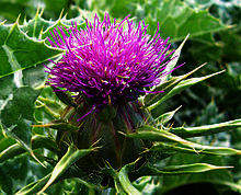 How can I prepare something medicinal for the liver from a fresh milk thistle plant, as a herbal tea or eat it?