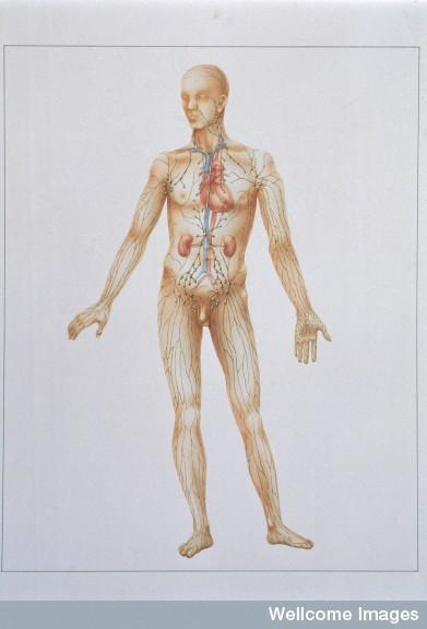 Is the lymphatic system one and the same as the immune system?